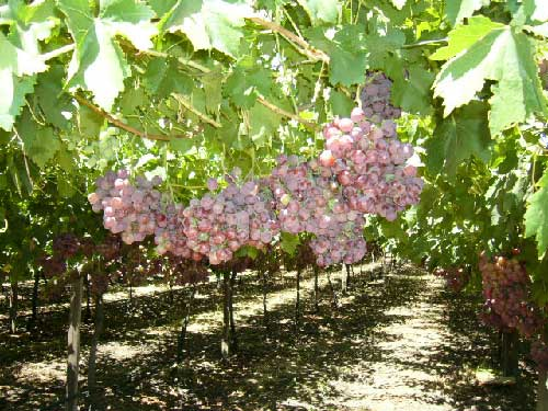 http://www.export-forum.com/africa/south-africa-fruits/images/red-globe-grape.jpg